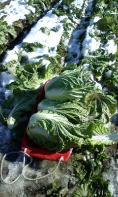 白菜の収穫作業_d0026905_1191741.jpg
