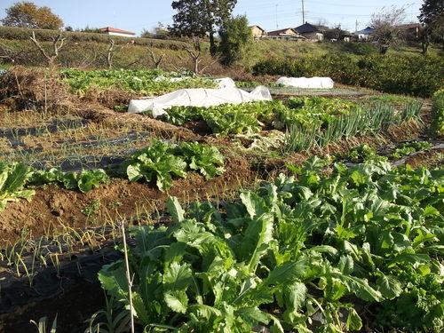 霜に弱いのは?....霜で畑は一変しました。_b0137932_21151967.jpg