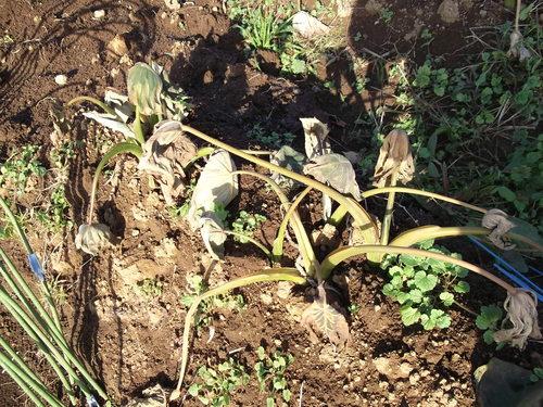 霜に弱いのは?....霜で畑は一変しました。_b0137932_2116920.jpg