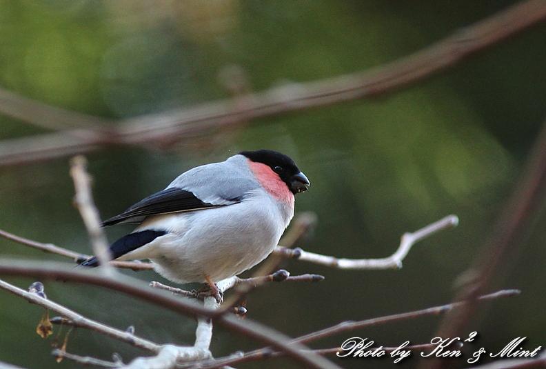 林道で出逢った鳥さん part1 「ウソ」さん♪_e0218518_1325254.jpg