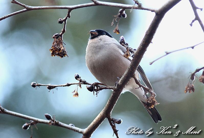 林道で出逢った鳥さん part1 「ウソ」さん♪_e0218518_1331267.jpg