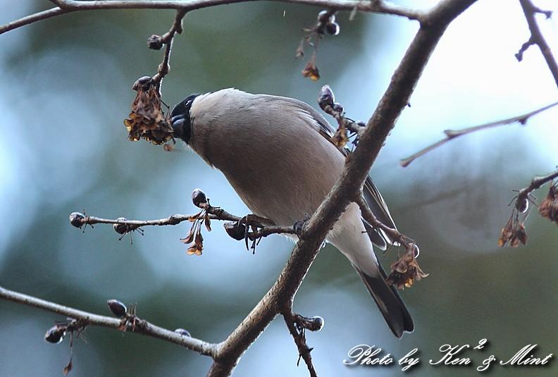 林道で出逢った鳥さん part1 「ウソ」さん♪_e0218518_133177.jpg