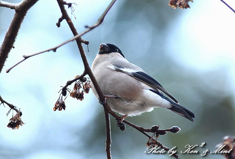 林道で出逢った鳥さん part1 「ウソ」さん♪_e0218518_1332278.jpg