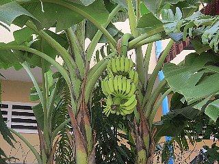 バナナの季節_d0113490_12455762.jpg