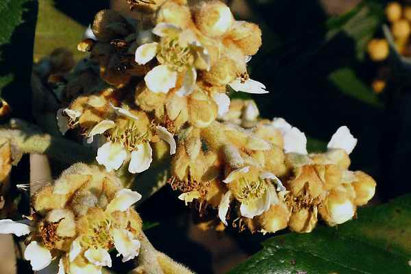 ビワの花と新入りニャンコさん     _f0214527_229386.jpg