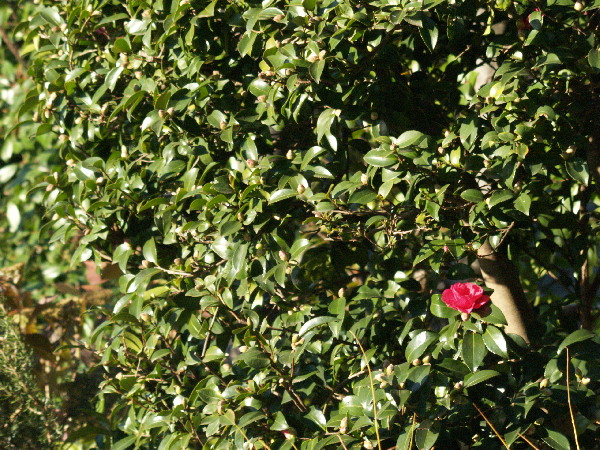 山茶花が咲かない    _f0208666_162017100.jpg