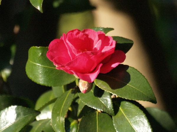 山茶花が咲かない    _f0208666_16231575.jpg