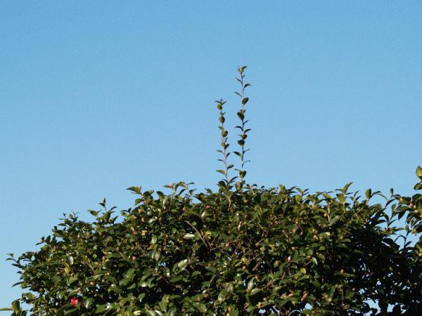 山茶花が咲かない    _f0208666_16285240.jpg