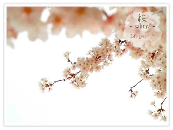 Oo。。 桜2012 6 。。oO_b0155684_184326.jpg