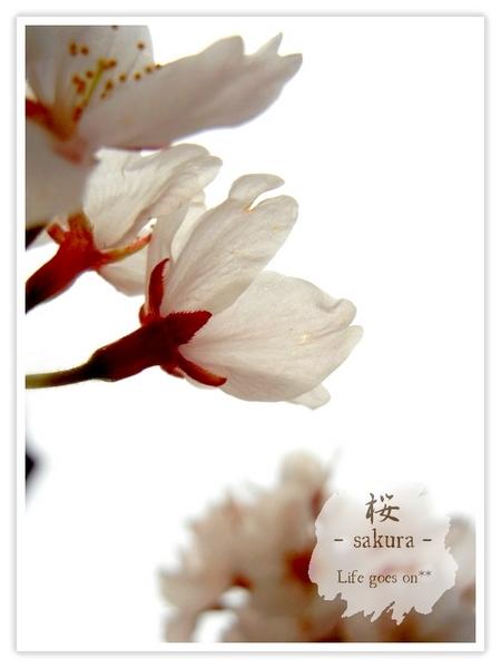 Oo。。 桜2012 6 。。oO_b0155684_18435817.jpg