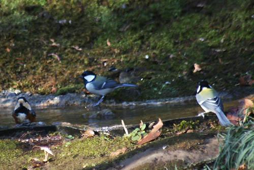 野鳥たちの水浴びと紅葉。ヒマラヤユキノシタ_f0030085_20432018.jpg
