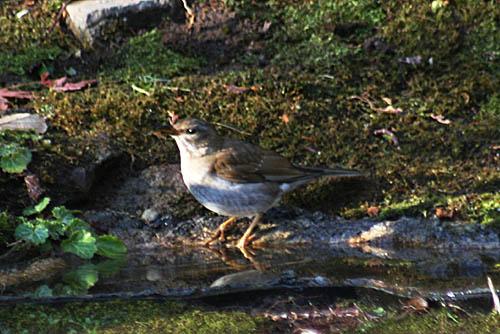 野鳥たちの水浴びと紅葉。ヒマラヤユキノシタ_f0030085_204335100.jpg
