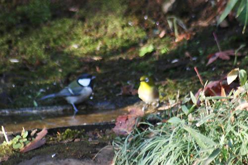 野鳥たちの水浴びと紅葉。ヒマラヤユキノシタ_f0030085_2043463.jpg