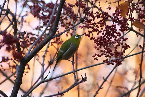 野鳥たちの水浴びと紅葉。ヒマラヤユキノシタ_f0030085_20444050.jpg