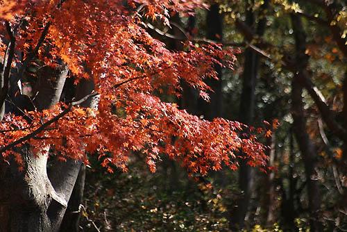 野鳥たちの水浴びと紅葉。ヒマラヤユキノシタ_f0030085_20463364.jpg