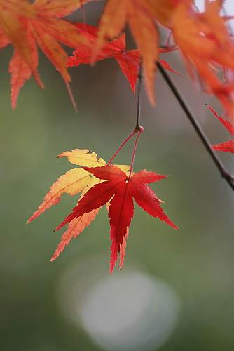 野鳥たちの水浴びと紅葉。ヒマラヤユキノシタ_f0030085_2047641.jpg