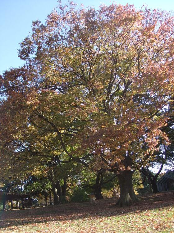オークリーフ(毛利庭園)_f0049672_16262297.jpg