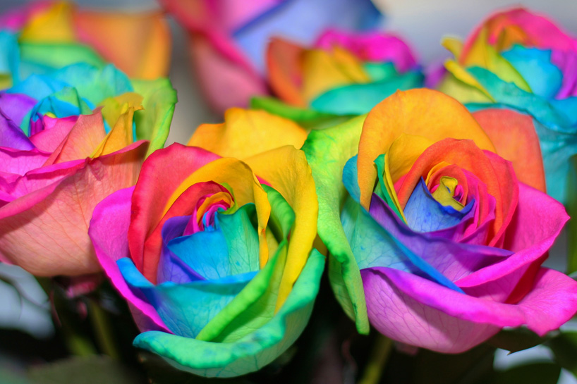How to make your own real rainbow roses bbb 39 s blog for How much are rainbow roses