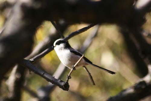 野鳥たちと、キチジョウソウ、ノジギク_f0030085_19473099.jpg