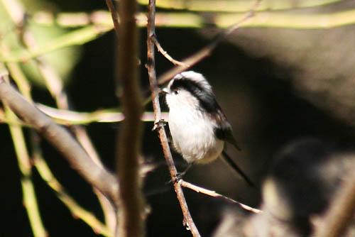 野鳥たちと、キチジョウソウ、ノジギク_f0030085_19474421.jpg