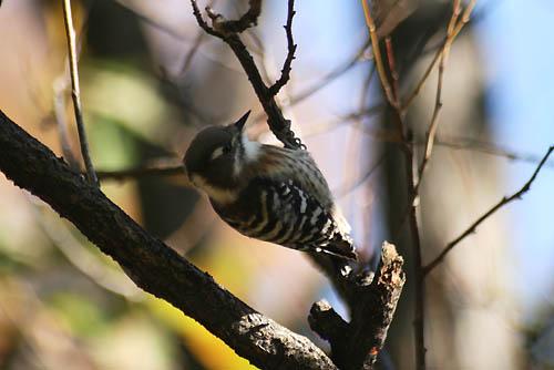 野鳥たちと、キチジョウソウ、ノジギク_f0030085_19493339.jpg