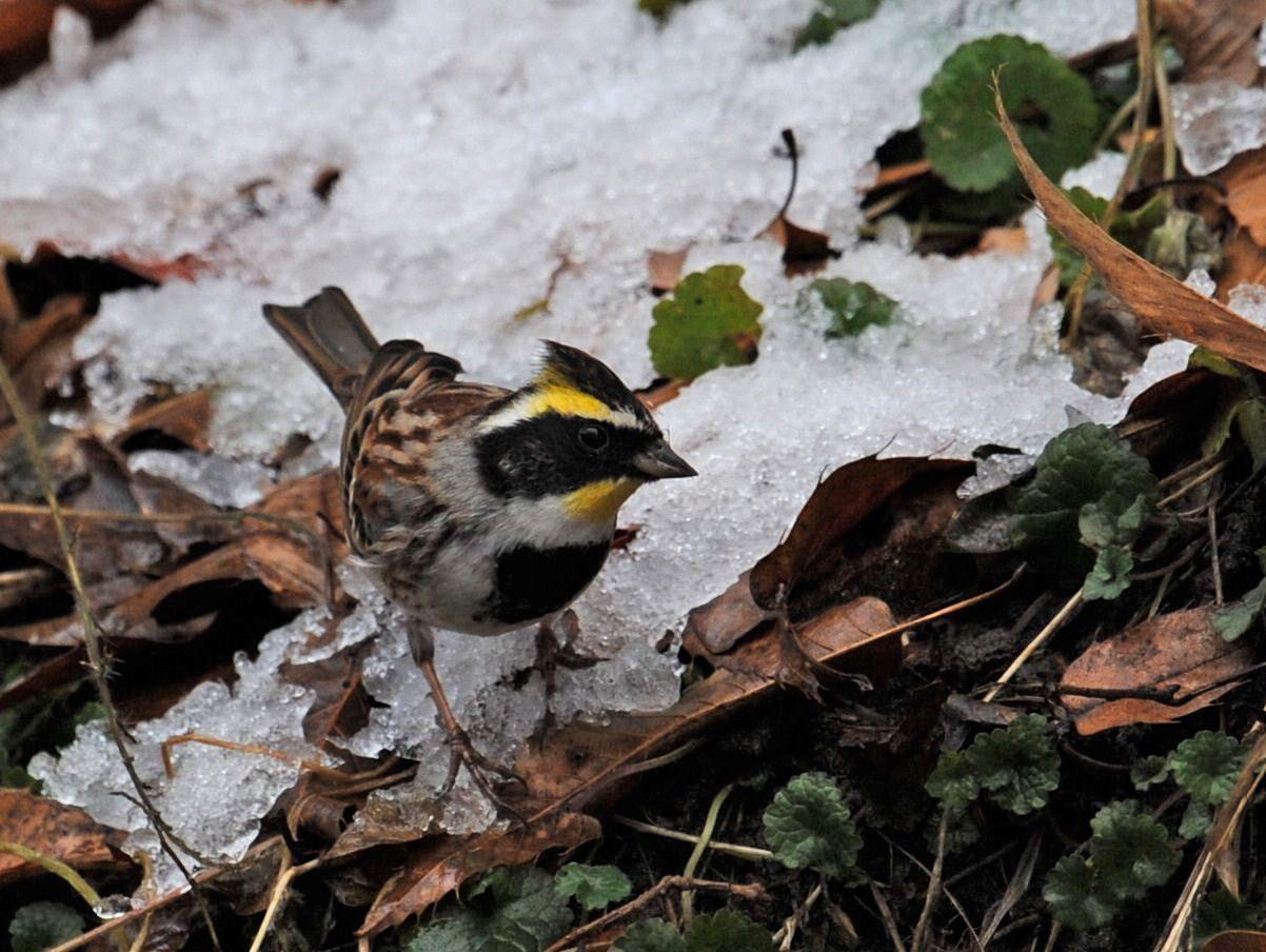 雪のミヤマホオジジロ・・・_c0233349_6495499.jpg