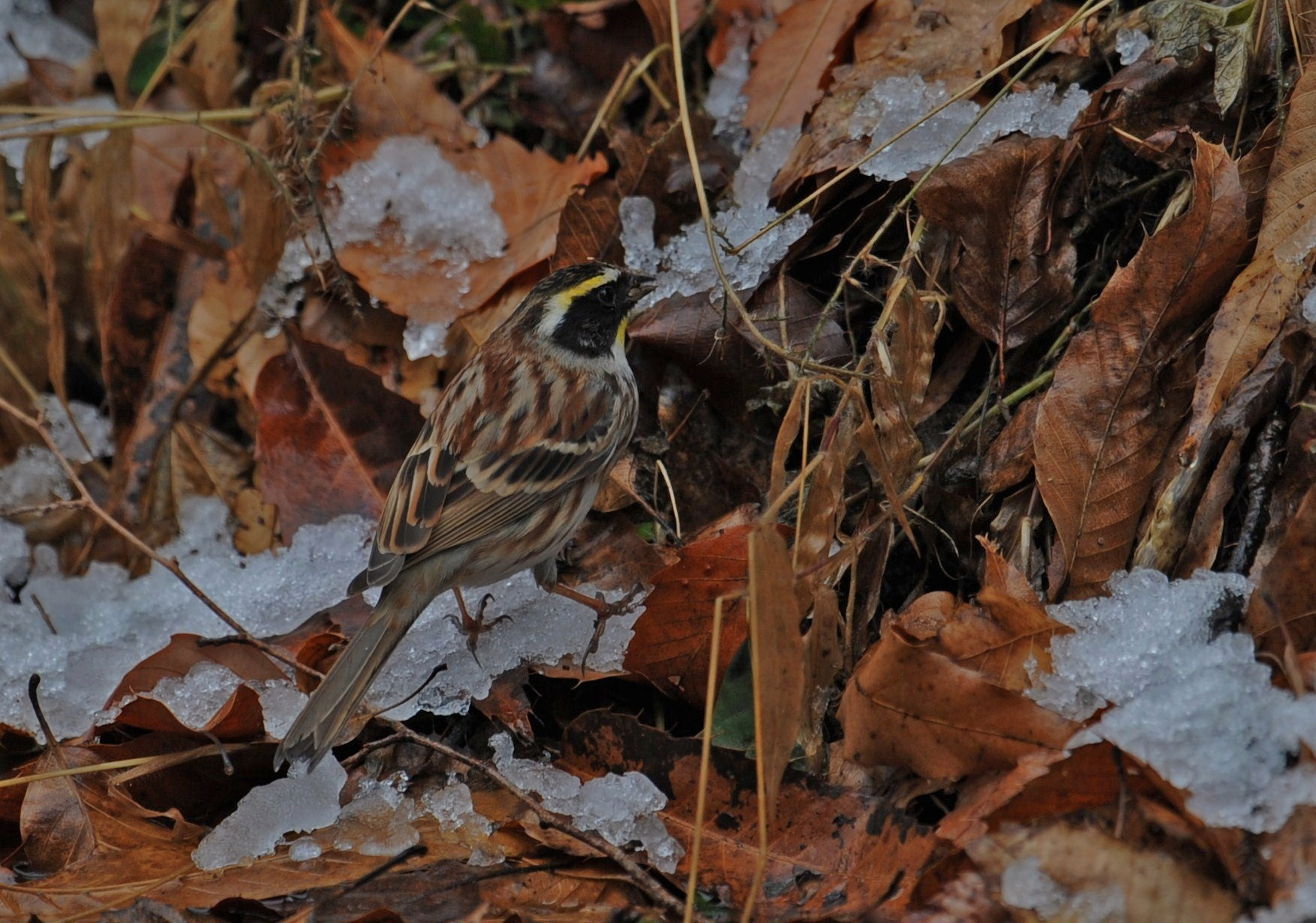 雪のミヤマホオジジロ・・・_c0233349_6503766.jpg