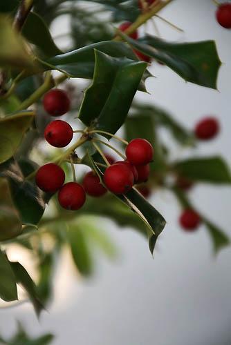 初めてのルリビタキと、クリスマスツリー_f0030085_20244363.jpg
