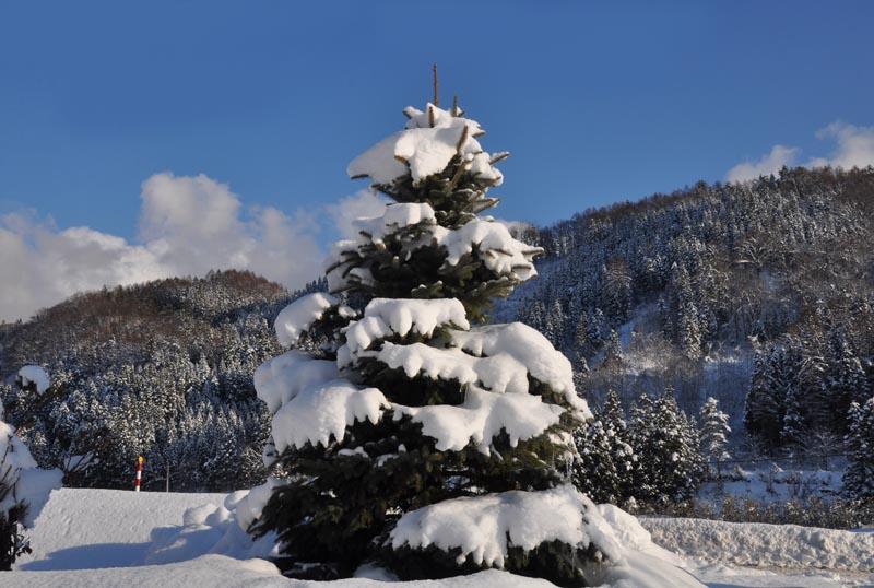 天然のクリスマスツリー_e0162117_15193738.jpg