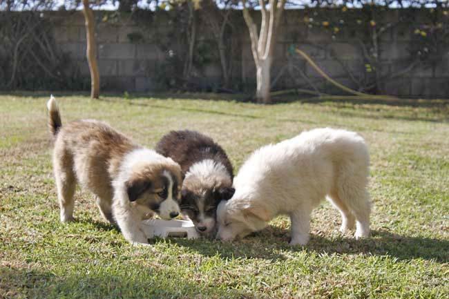 モロッコ原産アトラス犬の仔犬たち_e0092286_16462837.jpg