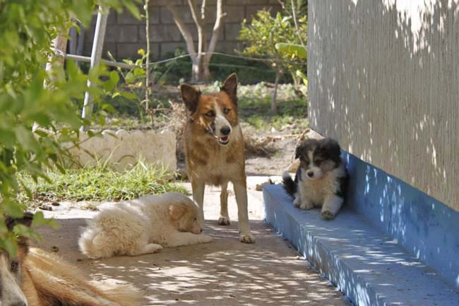 モロッコ原産アトラス犬の仔犬たち_e0092286_16482042.jpg