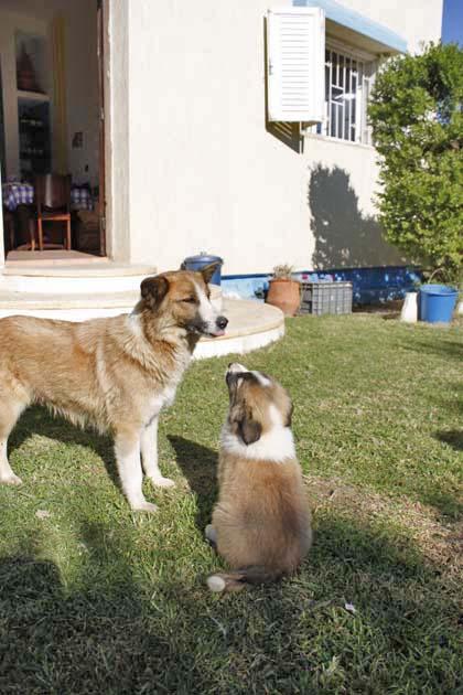 モロッコ原産アトラス犬の仔犬たち_e0092286_16564733.jpg