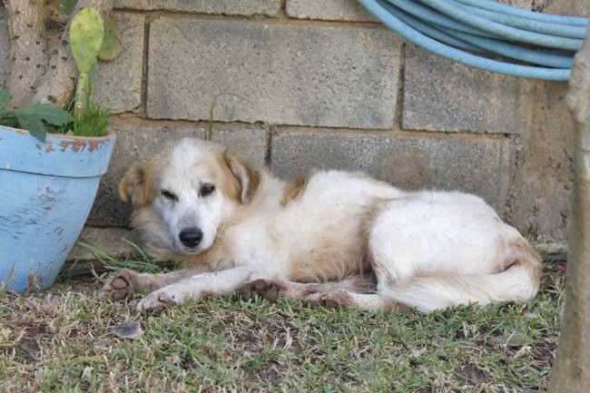 モロッコ原産アトラス犬の仔犬たち_e0092286_16583369.jpg