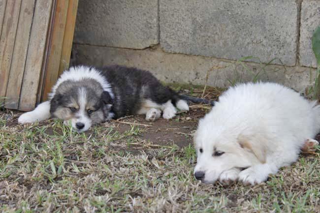 モロッコ原産アトラス犬の仔犬たち_e0092286_17115622.jpg