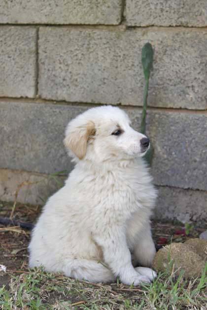 モロッコ原産アトラス犬の仔犬たち_e0092286_17121671.jpg