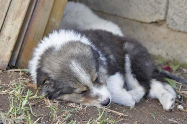 モロッコ原産アトラス犬の仔犬たち_e0092286_1718521.jpg