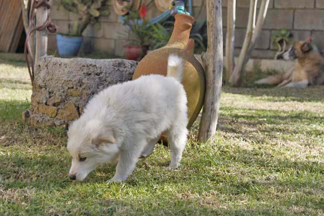 モロッコ原産アトラス犬の仔犬たち_e0092286_17350100.jpg