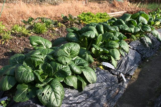 今食べごろの畑の小松菜はとても大きい~。_f0229190_2154321.jpg