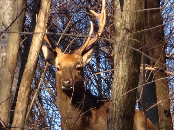 散歩中に立派な牡鹿に遭遇_f0064906_19525088.jpg