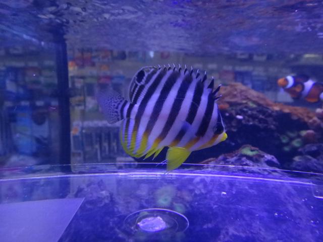 121226 海水魚・熱帯魚・侘び草・水草_f0189122_12421218.jpg