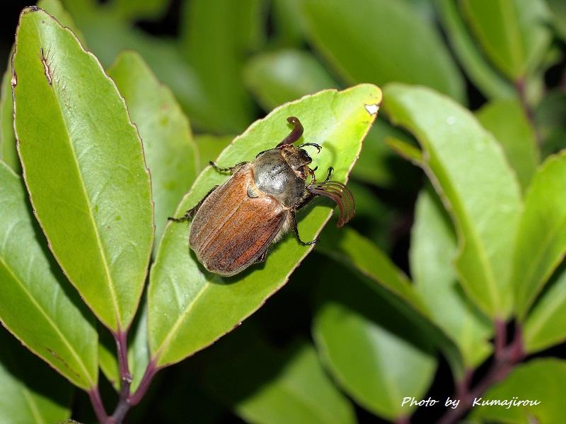2年に一度現れる真冬の黄金虫 ケブカコフキコガネ_b0192746_10184098.jpg