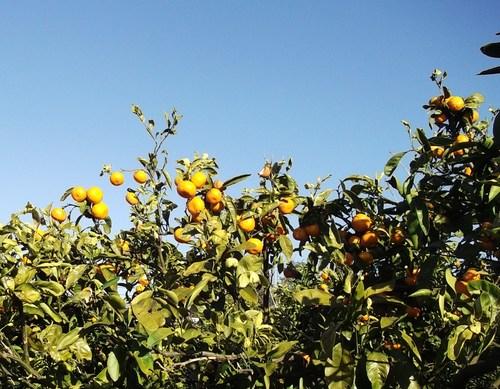 今年最後の野菜畑......みかんの収穫も_b0137932_18553410.jpg