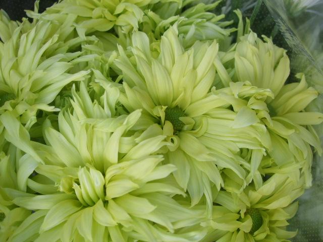 オークリーフ(お正月の花たち)_f0049672_10303451.jpg