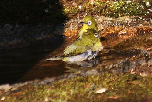 ヤブコウジと、野鳥たち_f0030085_21101950.jpg