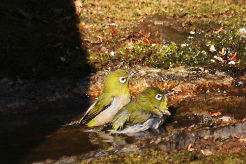 ヤブコウジと、野鳥たち_f0030085_21103381.jpg