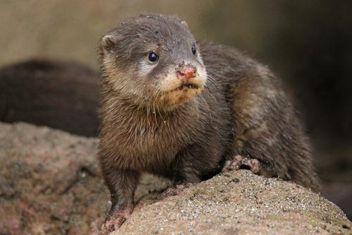 コツメカワウソ:Asian Short-clawed otter_b0249597_51946.jpg