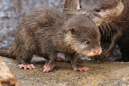 コツメカワウソ:Asian Short-clawed otter_b0249597_5202722.jpg