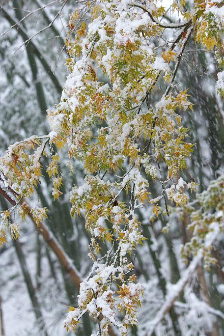 雪紅葉 1_c0067040_2331141.jpg