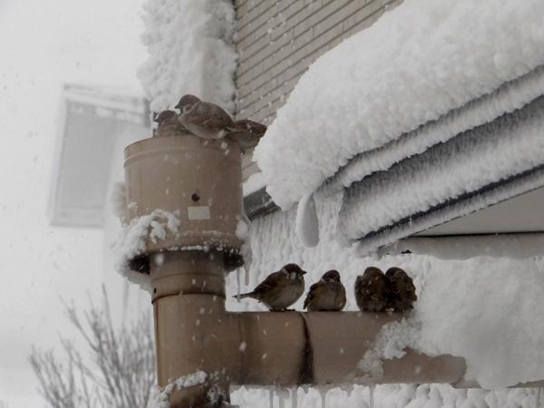 この冬もスズメの煙突風呂_a0136293_1745732.jpg