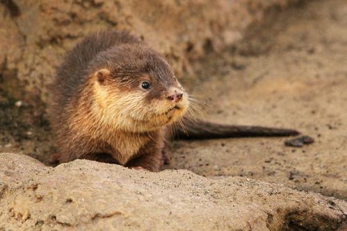 コツメカワウソ:Asian Short-clawed otter_b0249597_5134476.jpg